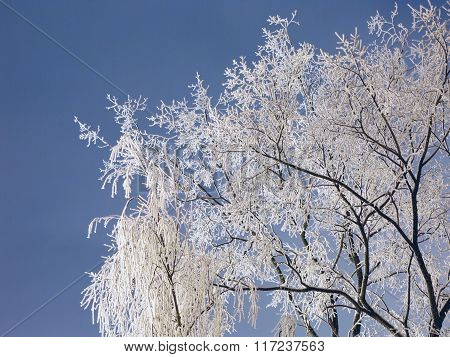Branches Of Tree In Hoarfrost