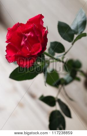 Fluffy red rose