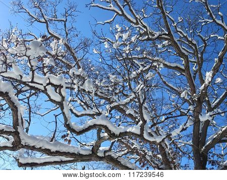 Tree top Snow Covered Branches in Sunshine