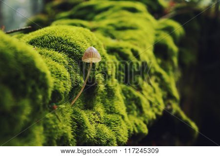 Mushroom on green stump in summer green forest (Mycena erubescens)