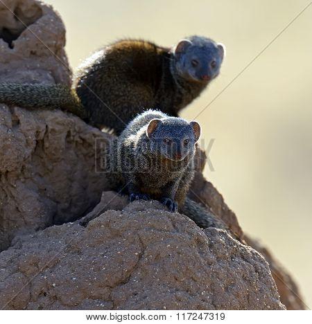 Mongoose In African Savannah