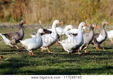 Flock Of Geese Grazing On Lake Side In Natural Environment