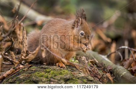Red Squirrel, On A Tree Trunk Eating A Nut