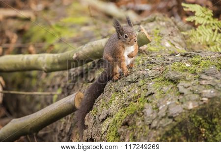 Red Squirrel, On A Tree Trunk