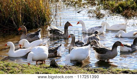 Natural Background With Domestic Poultry Geese At Farmyard