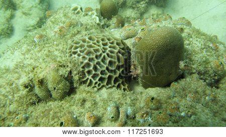 massive coral