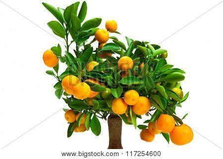 small tangerine tree on a white background