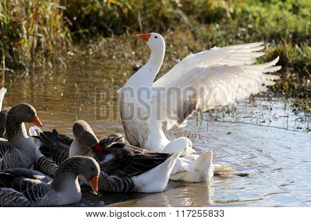 Flock Of Geese Swimming In A Marshy Pond