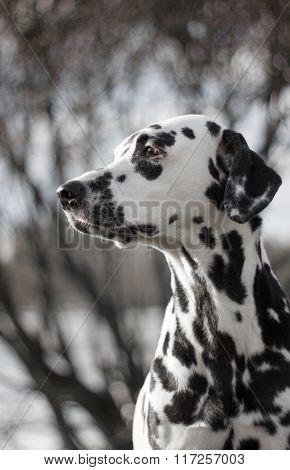 Pretty dalmatian