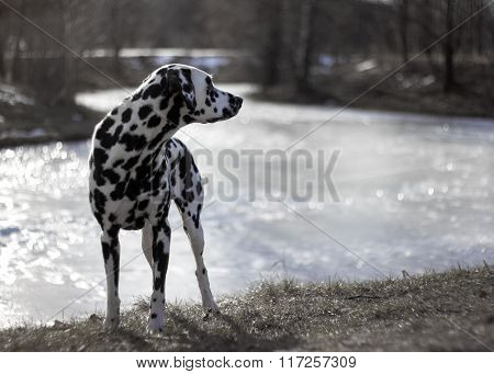 Dalmatian On The Winter River