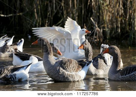 Snow Geese Swimming In Small Pond Rural Scene