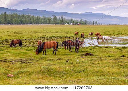 Mongolian Horses Grazing