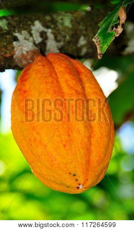 Hanging Cocoa Fruit