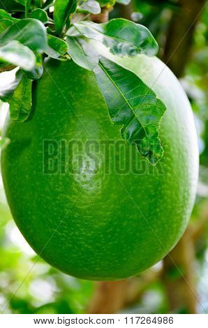Calabash Fruit On A Tree