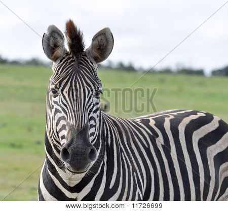 Burchell's Zebra In Africa