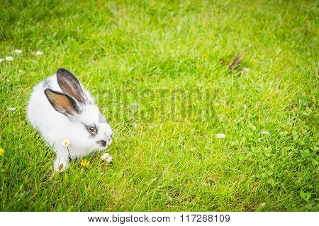 White Domestic Rabbit On A Green Meadow
