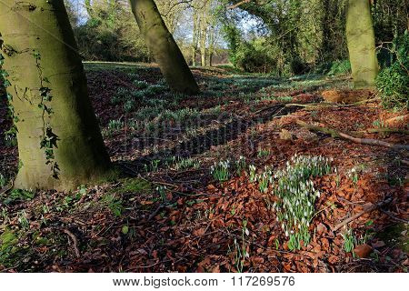 Snowdrops In A Wood