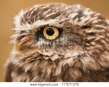 Head of little nothern owl