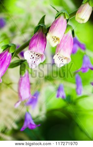 Beautiful flowers purple Foxglove