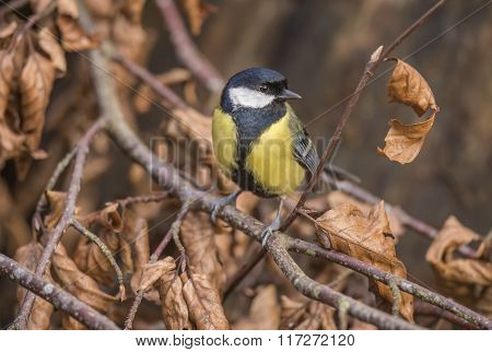 Great Tit Perched On A Branch In A Forest