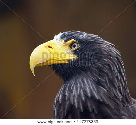 Portrait of Steller´s sea eagle