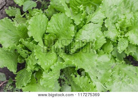 Salad leaves with Green Oak