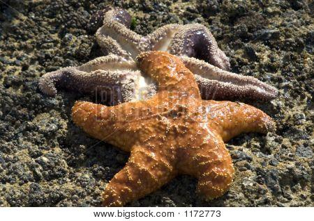 Orchre Sea Stars Pct5568
