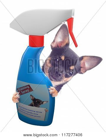Cute Chihuahua Dog Have A Traing Spray Between The Legs, Isolated White Background