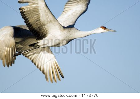 Sandhill Crane In Flight Pct4886