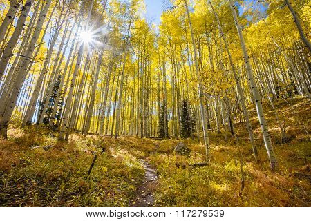 Sunburst In Autumn  Through An Aspen Grove Along Kebler Pass In Colorado