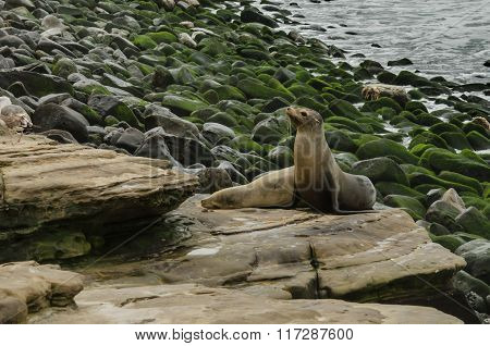 Attentive Sea Lion On Rocks