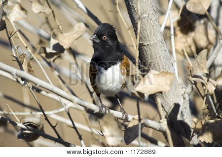 Spotted Towhee Pct4445