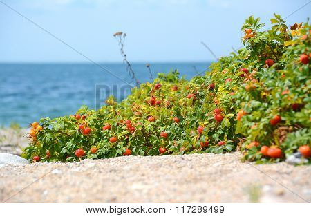 Rose Hip on the Beach