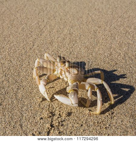 Ghost crab on the beach sand