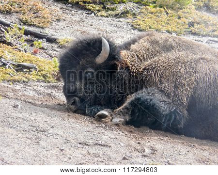 Faded American Bison Closeup In Yellowstone Park