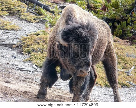 Aggressive Bison At The Yellowstone National Park