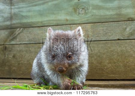 Little Wombat Tasmania