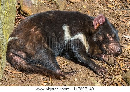 Tasmanian Devil sleeping