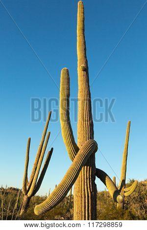 Tall Saguaros