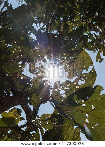 Sun Shining Through Canopy Of Teak Tree (leaves Holes From Insect Damaged)