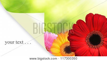 Colorful gerbera flowers