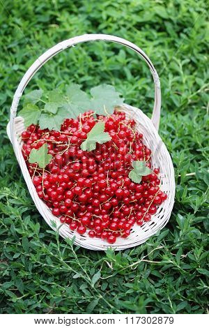 red currants in the basket on the grass