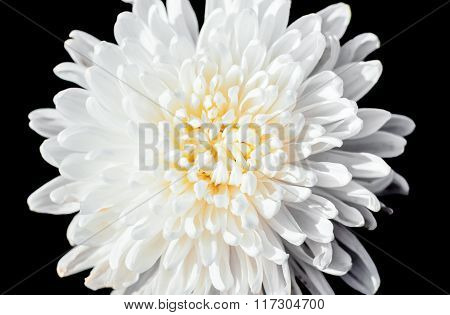 Closeup A Pollen Of White Chrysanthemum Black Isolated Background