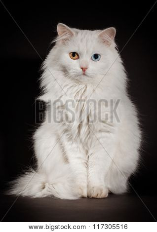 Portrait of a varicoloured eyes white cat