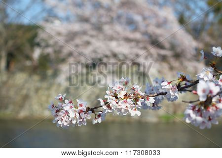 Cherry blossom over the moat