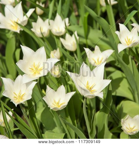 Spring background with beautiful white tulips