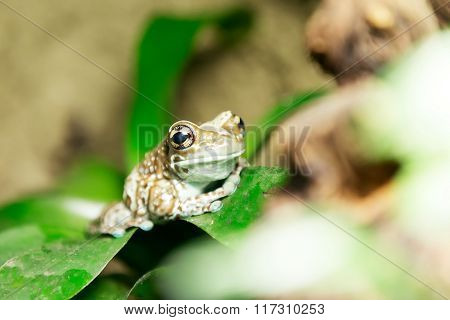 Tree Frog Or Amazon Milk Frog
