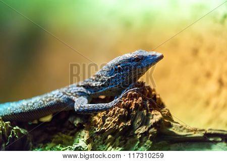 Small Lizzard Varanus Timorensis