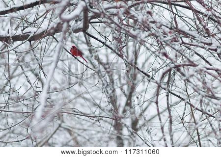 Red Bird In The Winter