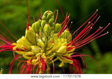 Decorative colorful dwarf powder puff plant at sunny morning